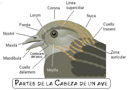 AVES DE CHILE - Gran Guia Web Ilustrada